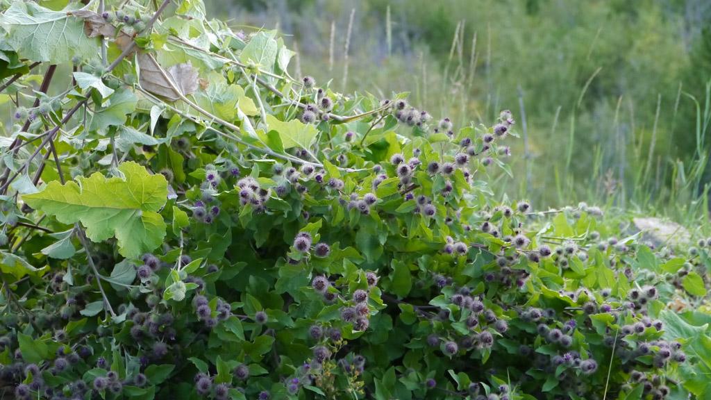 Jasmin-Invasive Plants: The Dreaded Burdock