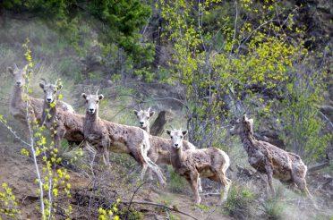 Bighorn Sheep Scouting