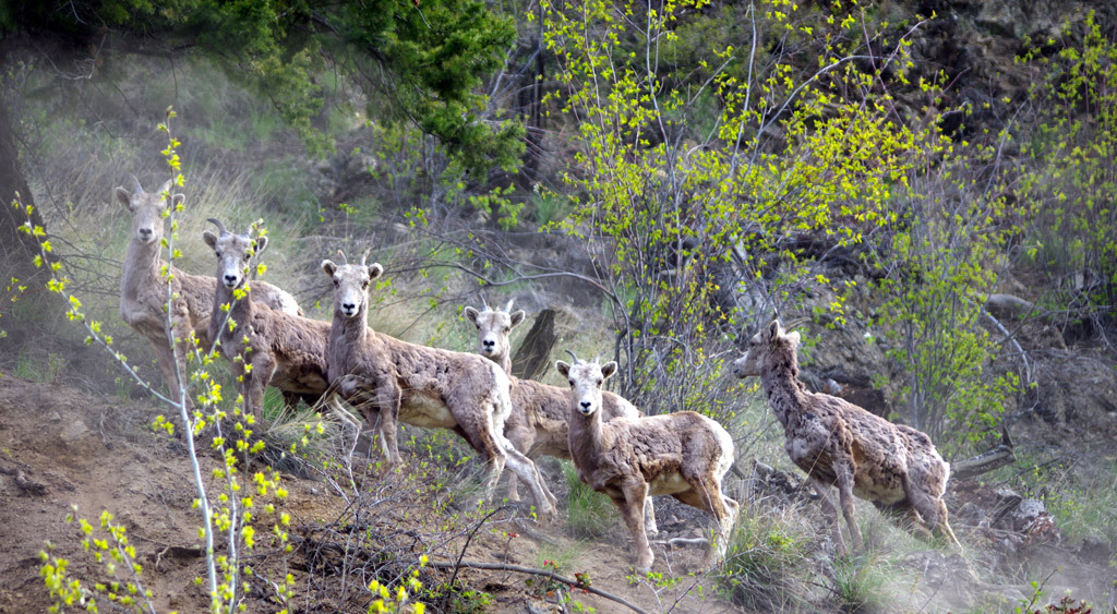 Tracking Bighorn Sheep