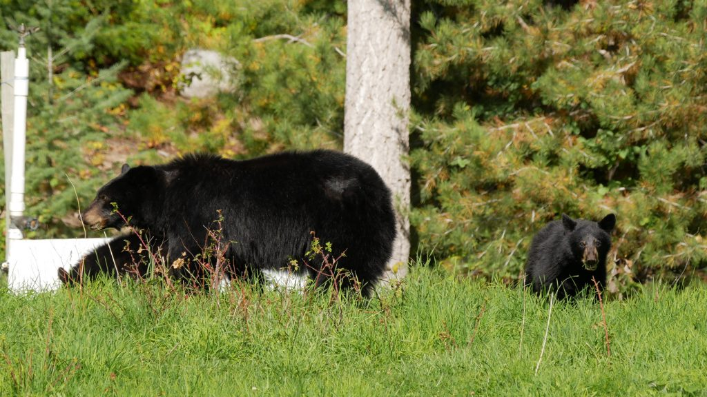 Black Bear Chilcotin Mountains