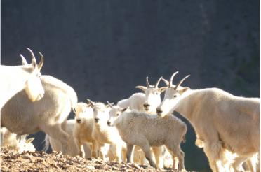 Mountain Goat Traces at Castle Peak